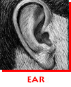 Waitsel Ink Spot Illustration Ear