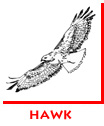 Waitsel Spot Illustration Hawk